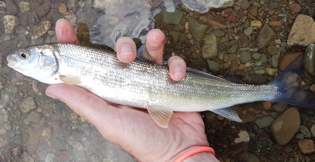 mountain whitefish from st mary lake