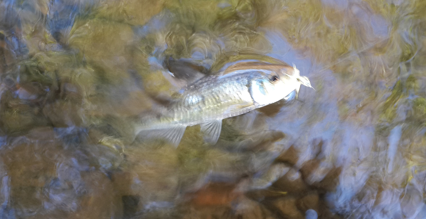 fly fishing striped shiner