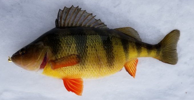 fat yellow perch