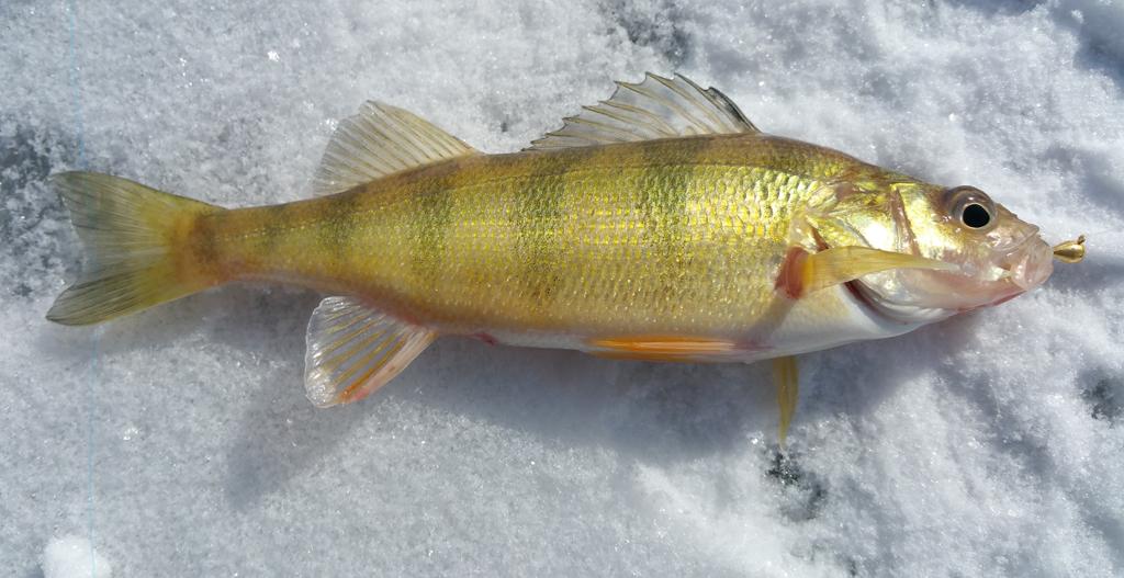 Yellow Perch caught ice fishing