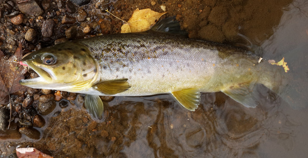 brown trout caught on pink trout magnet