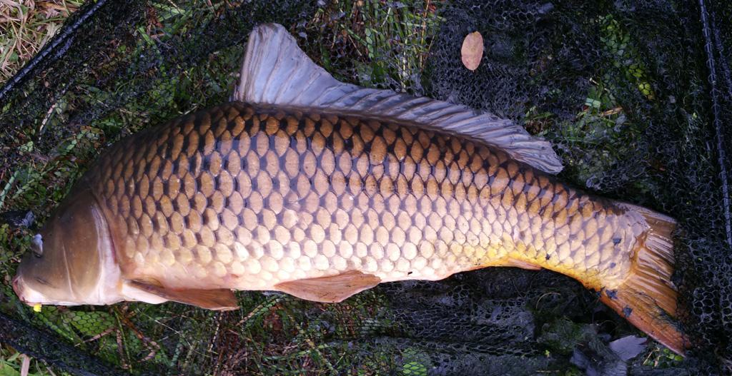common carp in net