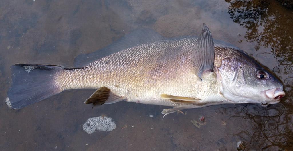 freshwater drum sheepshead