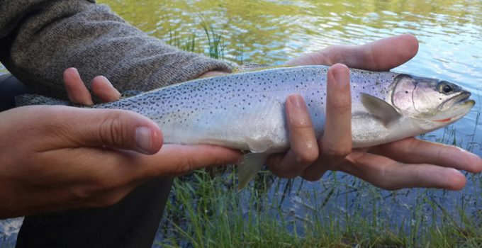 mcdonald creek montana cutthroat trout