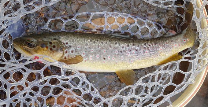 wild brown trout on squirmy worm